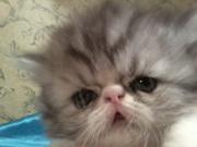 персидские и экзотические котята от элитных родителей
