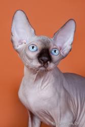 Голубоглазые котята - канадские сфинксы.